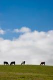 коровы страны пася небо места живое Стоковое Изображение RF