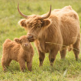 Коровы страны Стоковое Изображение