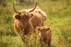 Коровы страны Стоковое Изображение RF
