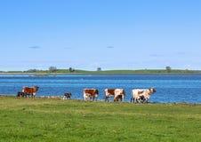 Коровы с икрами на пляже Стоковое Изображение RF