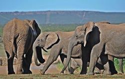 Коровы слона Tuskless Стоковое Изображение