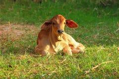 Коровы Таиланда Стоковые Изображения