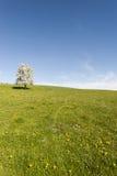 Коровы, луг и цветя деревья в Швейцарии Стоковая Фотография RF