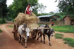 коровы управляя фурой сторновки 2 myanmar человека Стоковые Изображения RF