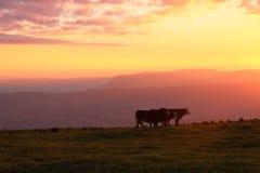 Коровы фермы на красивом заходе солнца Стоковое фото RF