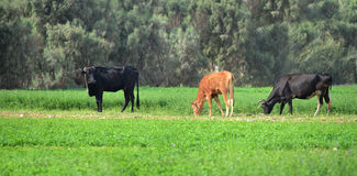 Коровы фермы пася Стоковые Изображения