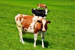 Коровы швейцарца на зеленом выгоне Стоковые Фото