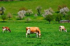 Коровы швейцарца на зеленом выгоне Стоковые Изображения