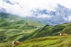 Коровы швейцарца над Kleine Scheidegg, Bernese Oberland, Швейцарией Стоковые Фото