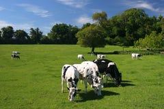 коровы Стоковое Фото