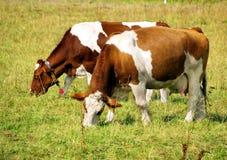 коровы 2 Стоковая Фотография RF
