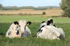 коровы 2 Стоковые Фото