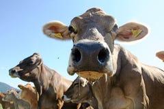 коровы Стоковое фото RF