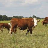 коровы Стоковые Изображения