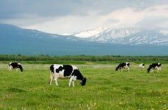 коровы Стоковые Фотографии RF