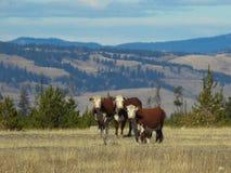 коровы 3 Стоковое Фото