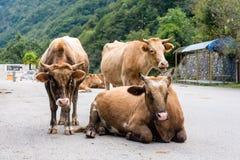 коровы Стоковые Фото