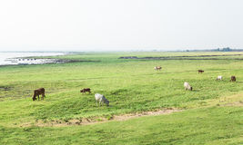 коровы Стоковое Изображение