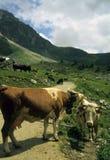 коровы alps швейцарские Стоковое Фото