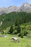 коровы alps Стоковое Фото