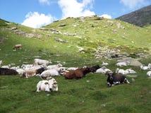 коровы alps Стоковая Фотография