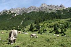 коровы alps Стоковое Изображение