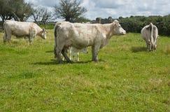 Коровы Charolais Стоковые Фото