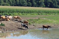 Коровы The Creek Стоковые Фотографии RF