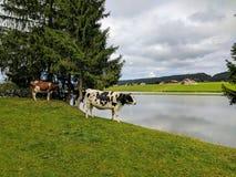 Коровы, des Thaillère Lac, Швейцария Стоковое Изображение