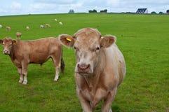 коровы field зеленый цвет Стоковые Фотографии RF