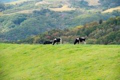 коровы field зеленый цвет стоковое изображение rf