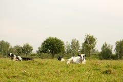 коровы field зеленый цвет Стоковая Фотография