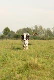 коровы field зеленый цвет Стоковые Фото