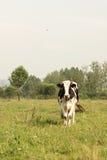 коровы field зеленый цвет Стоковые Изображения RF