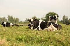 коровы field зеленый цвет Стоковое фото RF