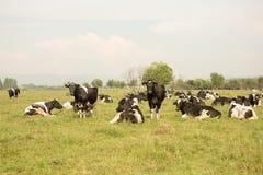 коровы field зеленый цвет Стоковое Изображение