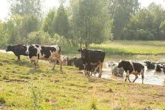 коровы field зеленый цвет Стоковые Изображения