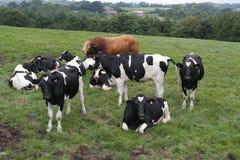 коровы field пасти Стоковое Фото