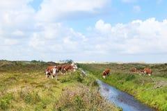 Коровы Hereford в ландшафте Стоковое фото RF