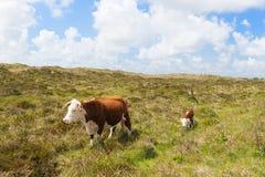 Коровы Hereford в ландшафте Стоковое Изображение RF