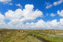 Коровы Hereford в ландшафте Стоковые Фотографии RF