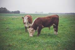 Коровы Hereford на зеленом поле Стоковые Изображения