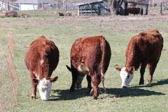 Коровы Hereford Стоковая Фотография