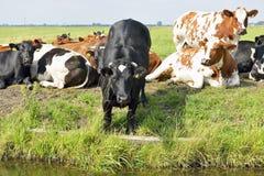Коровы outdoors в луге Стоковая Фотография RF