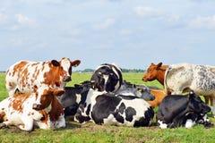 Коровы outdoors в луге Стоковые Фотографии RF