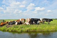 Коровы outdoors в луге Стоковые Фото