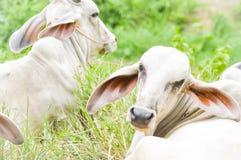 Коровы, oxes Стоковые Фото