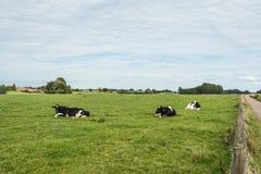Коровы Ruminating лежа в луге Стоковое Изображение