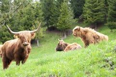 Коровы scottish гористой местности Стоковое Фото