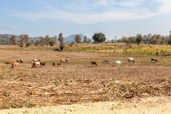Коровы whit ландшафта Стоковое Фото